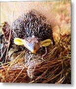 Tree Swallow Fledglings Metal Print
