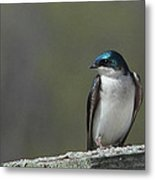Tree Swallow  Metal Print by James Hammen