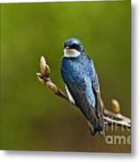 Tree Swallow Pictures 27 Metal Print