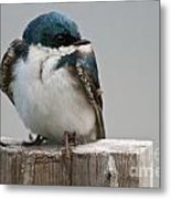 Tree Swallow Pictures 47 Metal Print