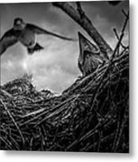 Tree Swallows In Nest Metal Print