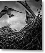 Tree Swallows In Nest Metal Print