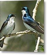 Tree Swallows Singing Metal Print