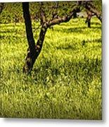 Tree Trunks In A Peach Orchard Metal Print