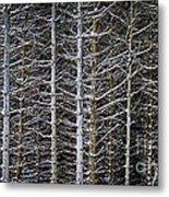 Tree Trunks In Winter Metal Print by Elena Elisseeva