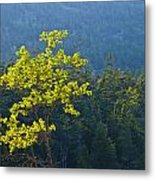 Tree With Yellow Leaves In Acadia National Park Metal Print