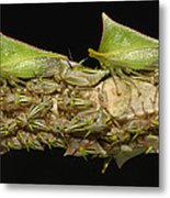 Treehoppers And Nymphs Mindo Ecuador Metal Print