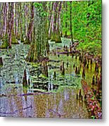 Trees And Knees In Tupelo/cypress Swamp At Mile 122 Of Natchez Trace Parkway-mississippi Metal Print