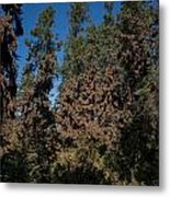 Trees Covered With Monarch Butterflies Metal Print