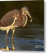 Tricolor Heron With Small Fish Metal Print
