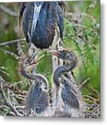 Tri-colored Heron With Chicks Metal Print