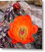 Trichocereus Cactus Flower  Metal Print
