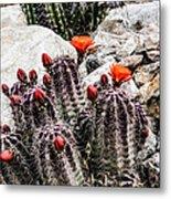 Trichocereus Cactus Flowers Metal Print