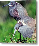 Tricolored Heron Male And Female At Nest Metal Print