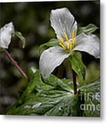 Trillium - After The Rain Metal Print
