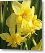 Tripartite Daffodil Metal Print