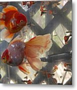 Triple Tail Goldfish Metal Print