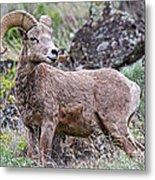 Wild Bighorn Metal Print