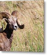 Trophy Bighorn In The Grass Metal Print