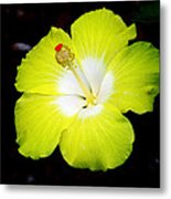 Tropical Hibiscus - Bonaire Wind 04a Metal Print