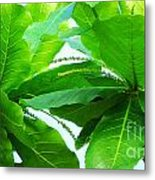 Tropical Noni Leaves Metal Print