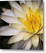 Tropical White Water Lily Metal Print