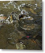 Trout Feeding Surface Rainbow Trout Art Prints Metal Print