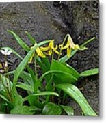 Trout Lily In The Woods Metal Print