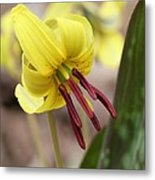 Trout Lily Or Dog-toothed Violet Metal Print