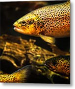Trout Swiming In A River Metal Print