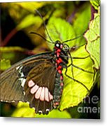 True Cattleheart Butterfly Metal Print