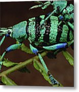 True Weevil Couple Mating Papua New Metal Print