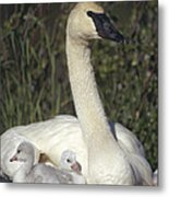 Trumpeter Swan On Nest With Chicks Metal Print by Michael Quinton