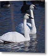 Trumpeter Swan Pair Metal Print