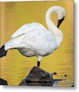 Trumpeter Swan Preening, Cygnus Metal Print