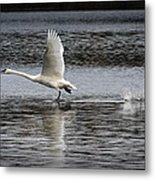 Trumpeter Swan Walking On Water Metal Print