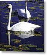 Trumpeter Swans In The Blue Metal Print
