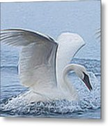 Trumpeter Swans Touchdown Metal Print