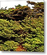 Tuckamore At Green Point Coastal In Gros Morne Np-nl Metal Print
