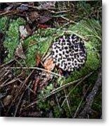 Tufted Mushroom Showing Metal Print