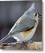 Tufted Titmouse Animal Portrait Metal Print by A Gurmankin