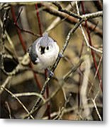 Tufted Titmouse On The Watch Metal Print