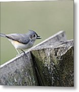 Tufted Titmouse With Seed Metal Print