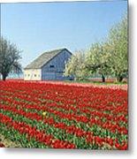 Tulip Field In Washington Stae Usa Metal Print