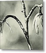 Tulip Poplar Empty Seed Heads - Black And White Metal Print