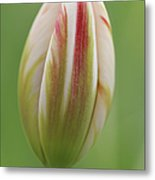Tulip Red And White In Spring Metal Print