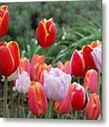 Tulip Tango Metal Print