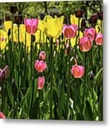 Tulip Time Pink Yellow Black Beauty Metal Print