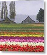 Tulip Town Barns Metal Print