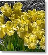 Tulips At Dallas Arboretum V23 Metal Print